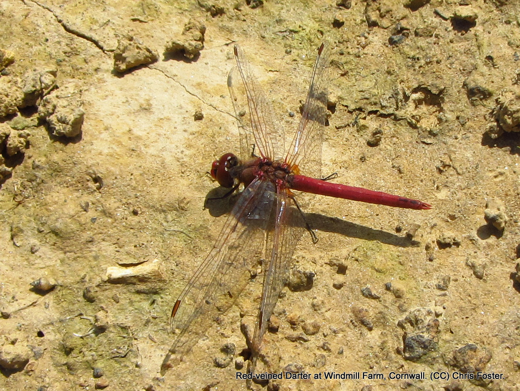 D is for Dragonfly