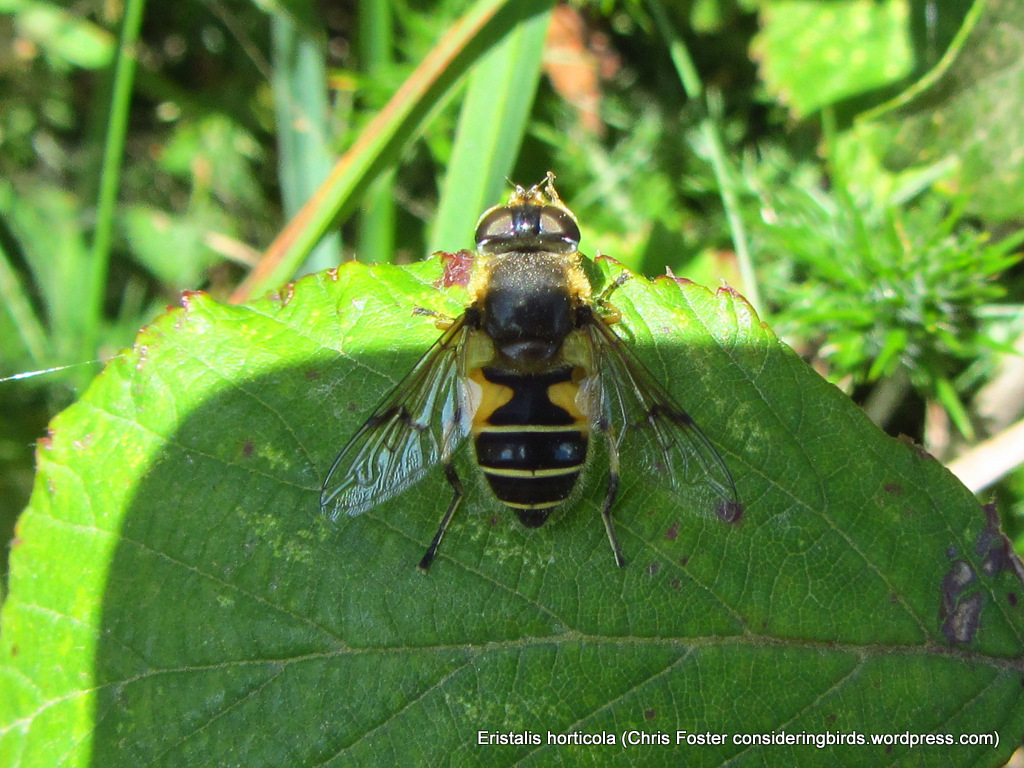 H is for Hoverfly