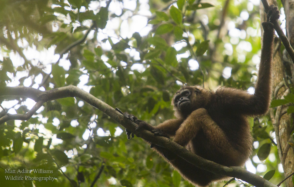 Southern Bornean gibbon, Sabangau