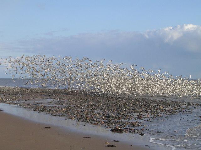 Flock of Wading Birds at Hilpsford