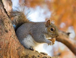 Eastern Grey Squirrel in St James's_Park, London