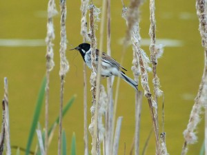 By nottsexminer (Reed Bunting  Uploaded by Fæ) [CC-BY-SA-2.0 (http://creativecommons.org/licenses/by-sa/2.0)], via Wikimedia Commons