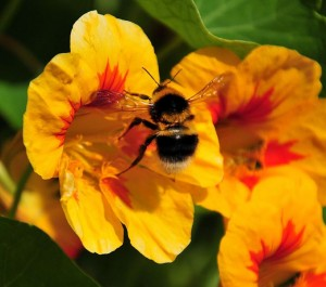 By SeaDave from Fairlie, Scotland (Bee on nasturtium 4  Uploaded by MaybeMaybeMaybe) [CC-BY-2.0 (http://creativecommons.org/licenses/by/2.0)], via Wikimedia Commons