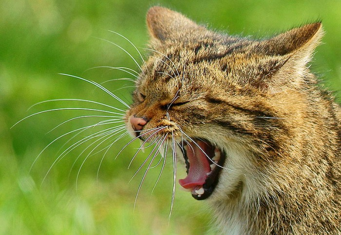 By Peter Trimming (Yawning 'Kendra'  Uploaded by Mariomassone) [CC-BY-2.0 (http://creativecommons.org/licenses/by/2.0)], via Wikimedia Commons