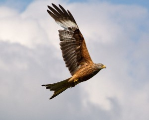 By Tony Hisgett from Birmingham, UK (Red Kite 10  Uploaded by Magnus Manske) [CC-BY-2.0 (http://creativecommons.org/licenses/by/2.0)], via Wikimedia Commons