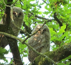 Juvenile tawny owls, taken by Christopher Foster, May 2012