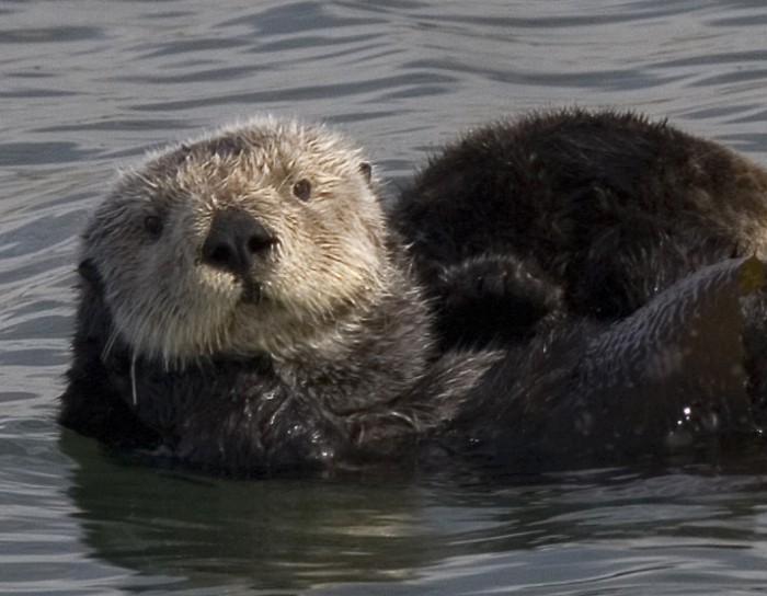 By Mike Baird from Morro Bay, USA (sea-otter-mom-and-pup_06) [CC-BY-2.0 (http://creativecommons.org/licenses/by/2.0)], via Wikimedia Commons