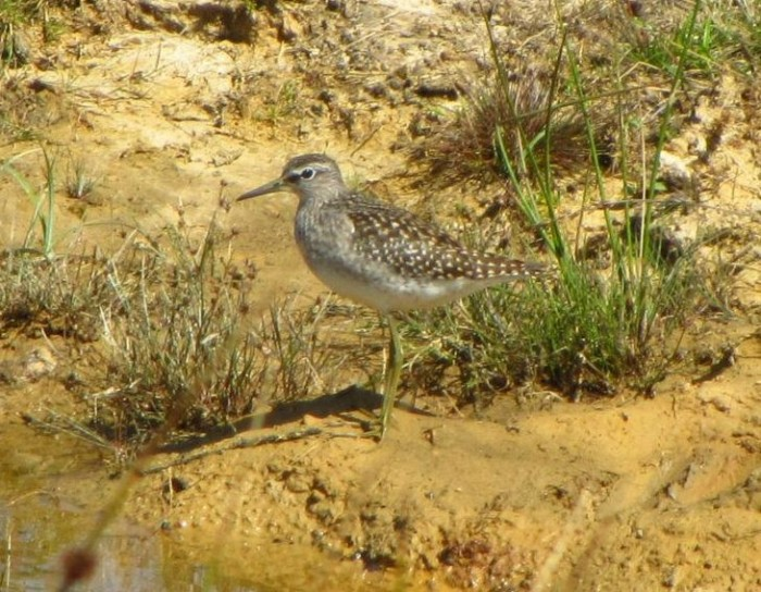 Wood Sandpiper by Christopher Foster