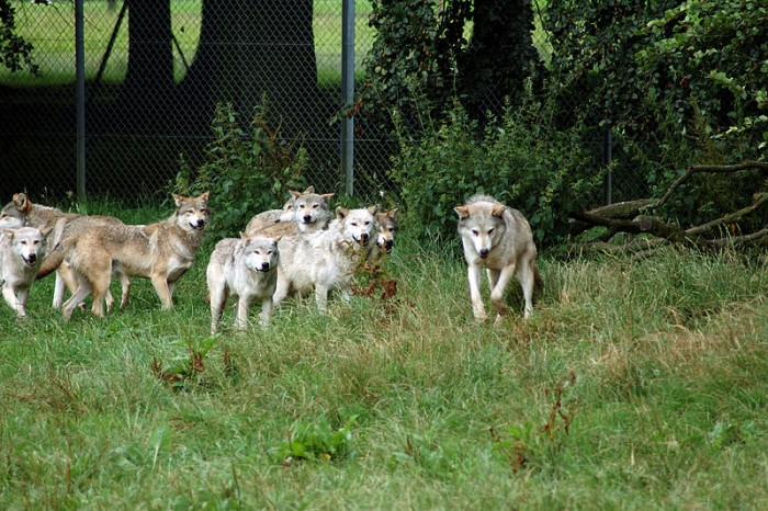 By Harlequeen from Cambridge, United Kingdom (Wolf Pack  Uploaded by Uploader of foxes) [CC-BY-2.0 (http://creativecommons.org/licenses/by/2.0)], via Wikimedia Commons