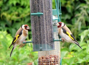 By jans canon (Goldfinches Uploaded by Snowmanradio) [CC-BY-2.0 (http://creativecommons.org/licenses/by/2.0)], via Wikimedia Commons