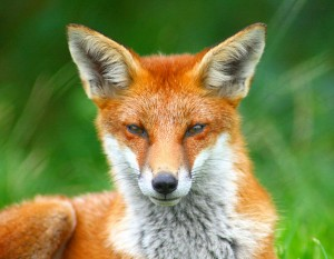 By Keven Law (Looking Foxy....) [CC-BY-SA-2.0 (http://creativecommons.org/licenses/by-sa/2.0)], via Wikimedia Commons