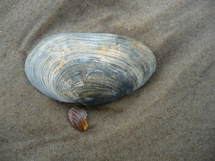 Sandklaffmuschel