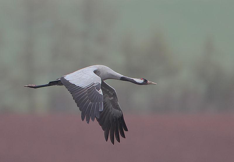 Rainbirder - Eurasian Crane (Grus grus)