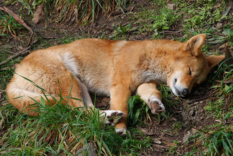 Dingo sleeping