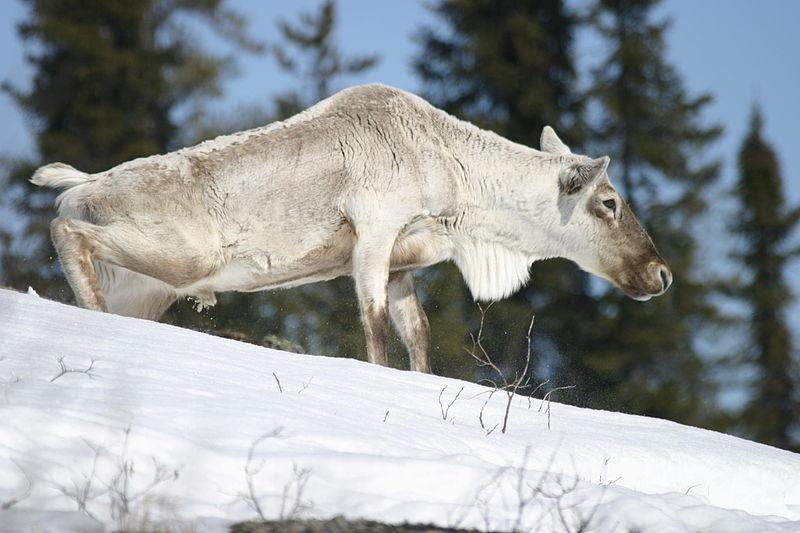 Caribou in Spring