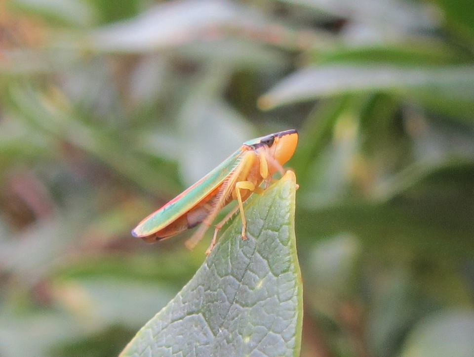 Graphocephalafennahi