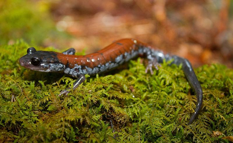 Yonahlossee salamander