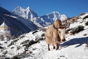 Yak in Nepal