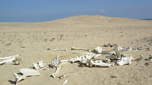 Desert Skeleton Red Sea