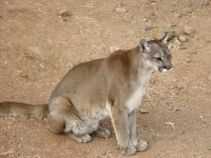 Cougar sitting