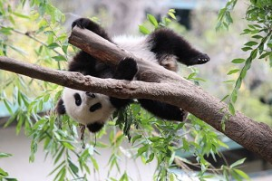 Young Panda Playing