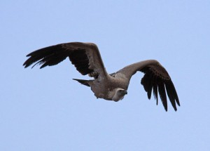 African Vulture (in flight)