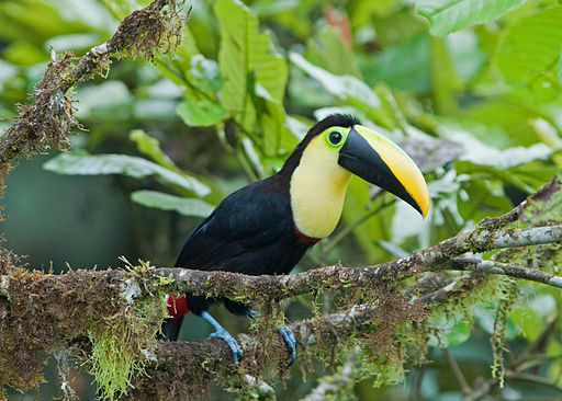 Choco Toucan resting