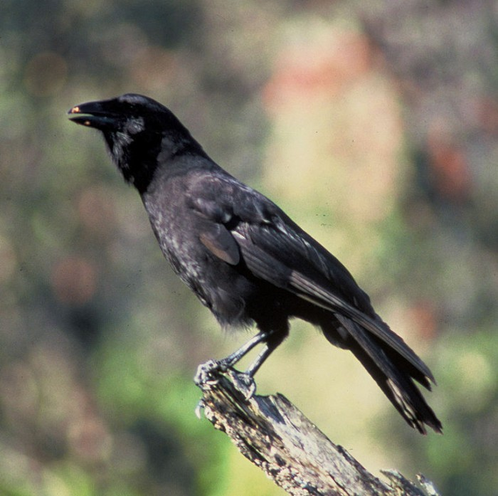 Hawaiian Crow