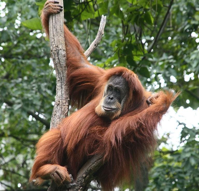 Orangutan Sumatera Good News for O...