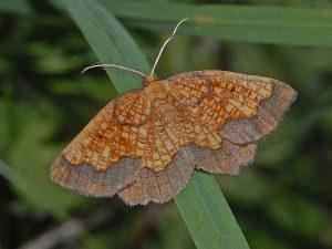 Geometridae Epione Vespertaria