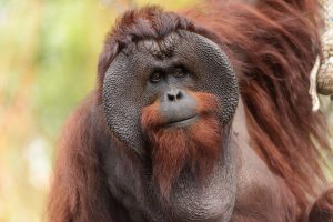 By Eric Kilby from Somerville, MA, USA (Male Bornean Orangutan - Big Cheeks) [CC BY-SA 2.0 (http://creativecommons.org/licenses/by-sa/2.0)], via Wikimedia Commons