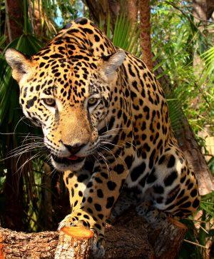 Junior Jaguar