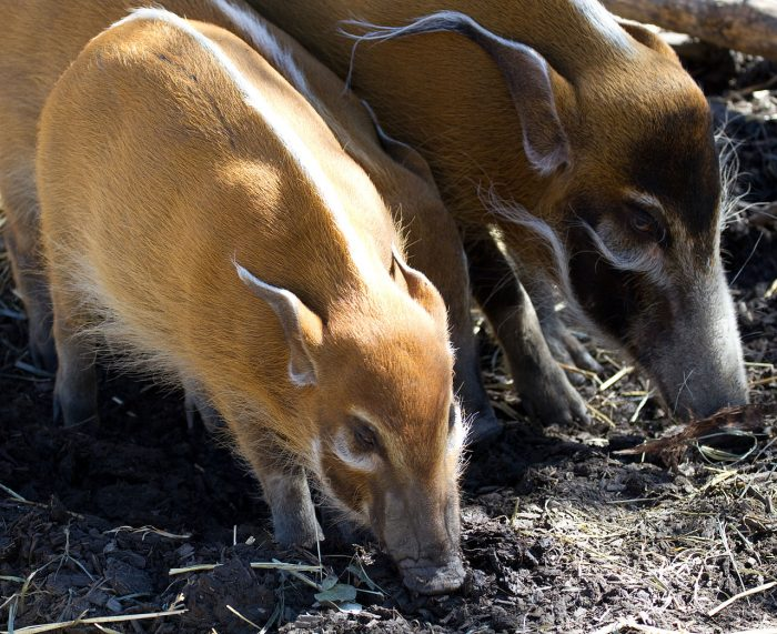 Red River Hogs