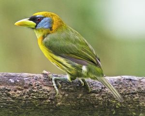 Female Red-headed Barbet in Ecuador