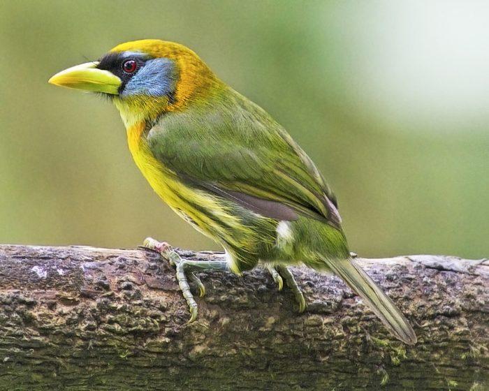 Female Red-headed Barbet in Ecuador