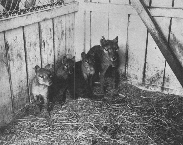 Thylacine Cubs