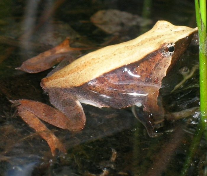 Darwin's Frog Mono Andes