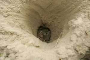 Loggerhead Sea Turtle Nest