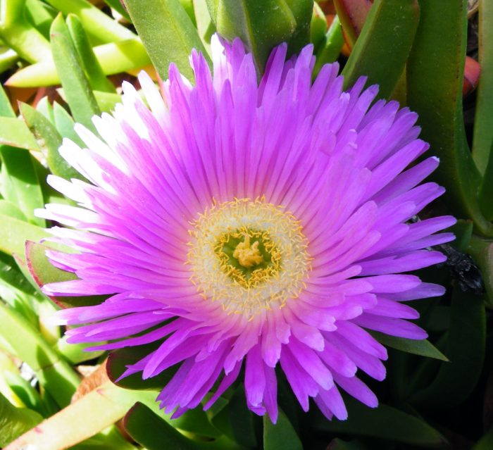 Hottentot Fig