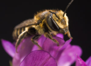 Alfalfa Leafcutting Bee