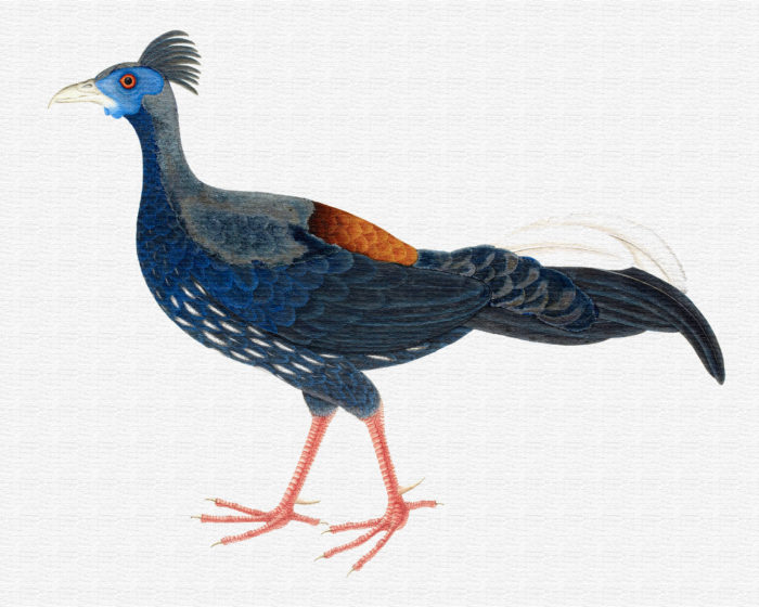 Crested Fireback Pheasant