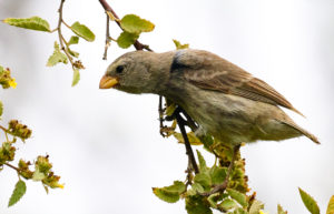 Galapagos Darwin Finch