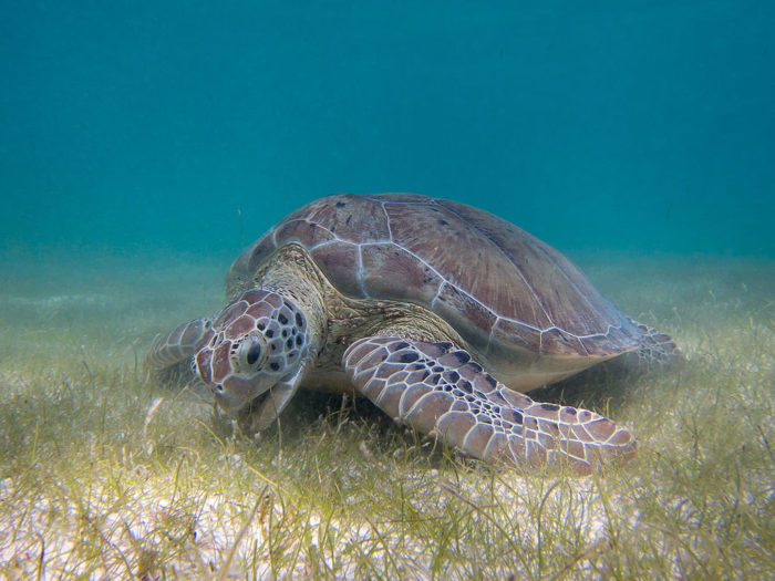 Sea Turtle Grazing Seagrass