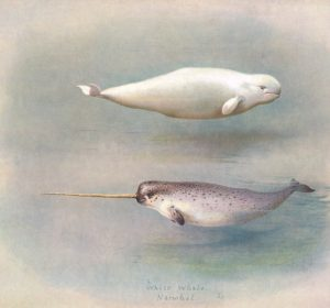 White Narwhal